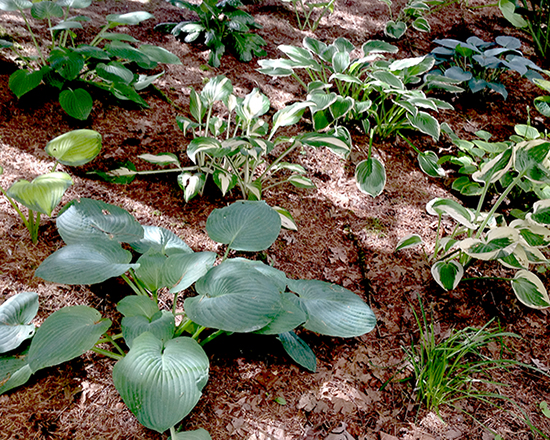 The Above Photo Was Taken Just Outside Office Of Far West Turf Farm And Nursery Hosta Are Our Specialty Plant That We Grow Along With Full