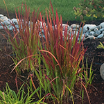 Japanese Blood Grass Imperata Cylindrical Far West