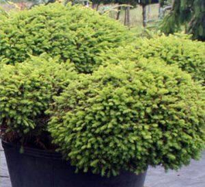 Dwarf Conifers Are The Heart Of A Good Winter Garden Far West