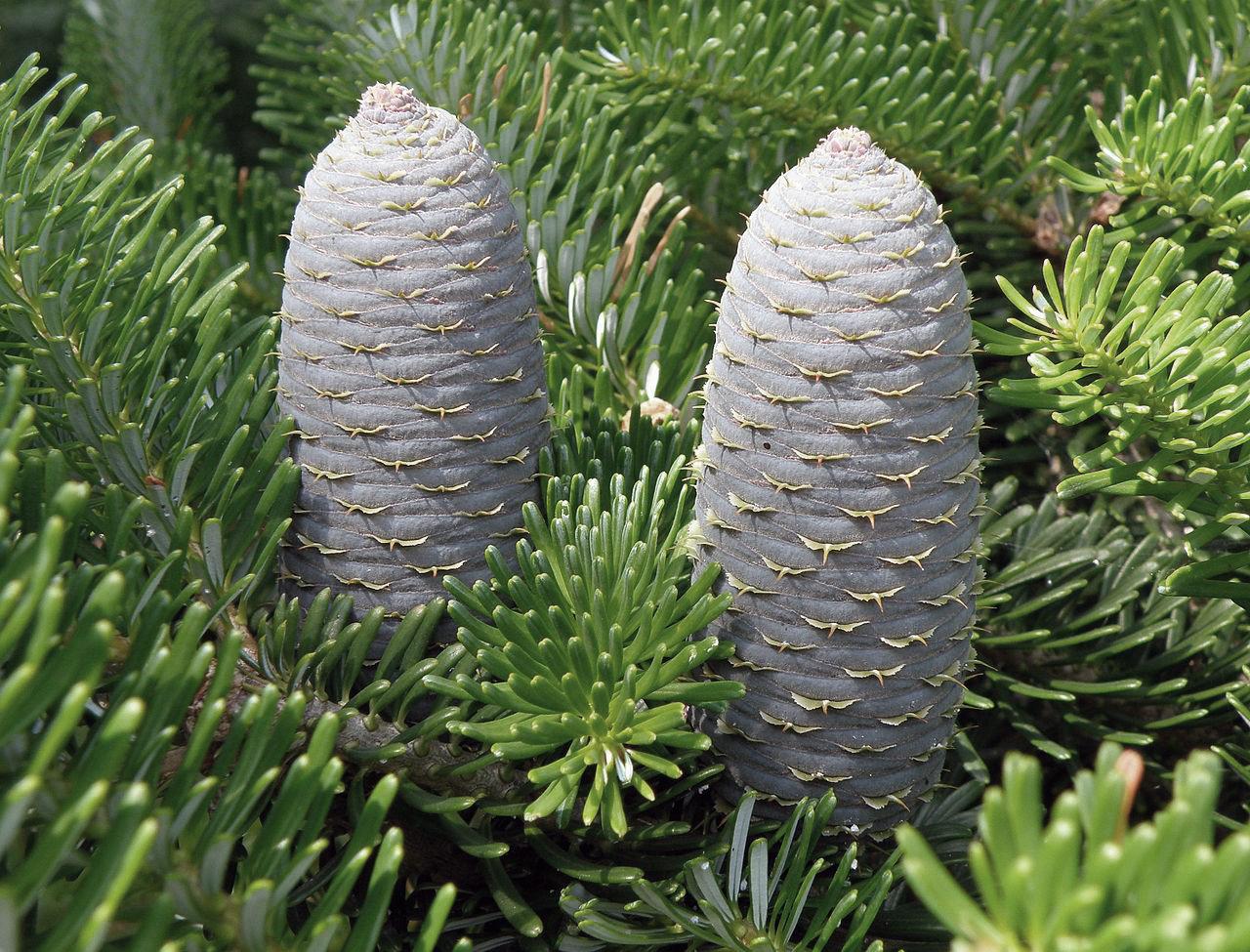 Abies Koreana Common Name Korean Fir Plant Type Conifer