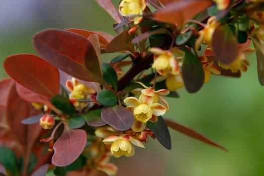 Berberis thunbergii var. atropurpurea 'Rose Glow'