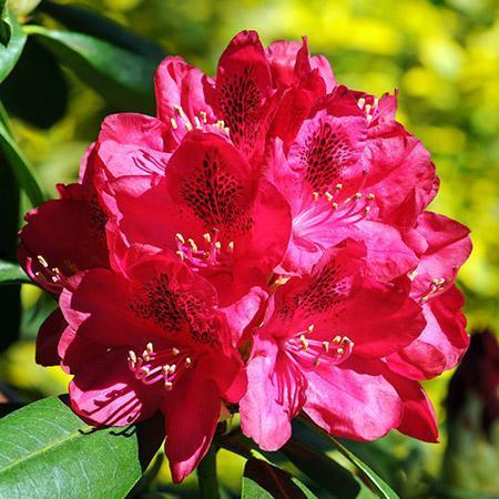 Understanding Rhododendrons