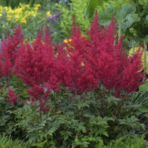 Astilbe x arendsii Red