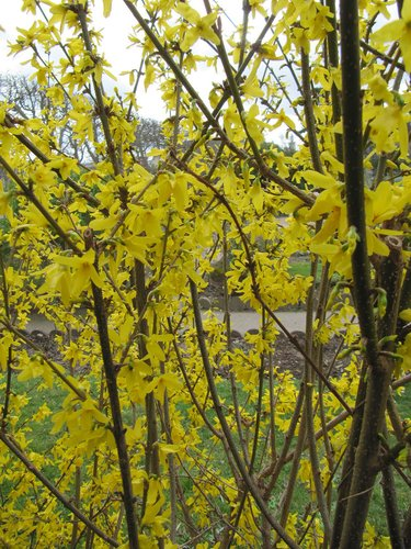 Forsythia suspensa