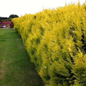 Golden Evergreen Hedge